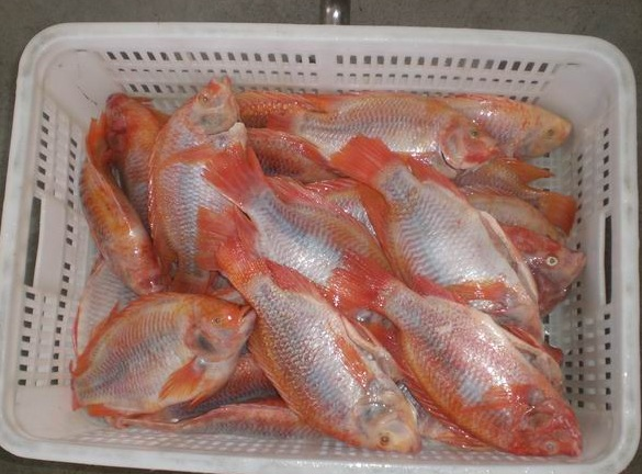 Red tilapia1